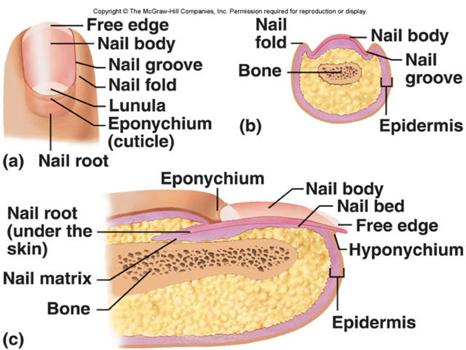 Sebaceous (Oil) Glands  connected to hair follicles in the dermis  secrete sebum (oil)  keeps hair from drying  prevents water evaporation from skin  keeps skin soft, supple  inhibits growth of many bacteria busy at puberty