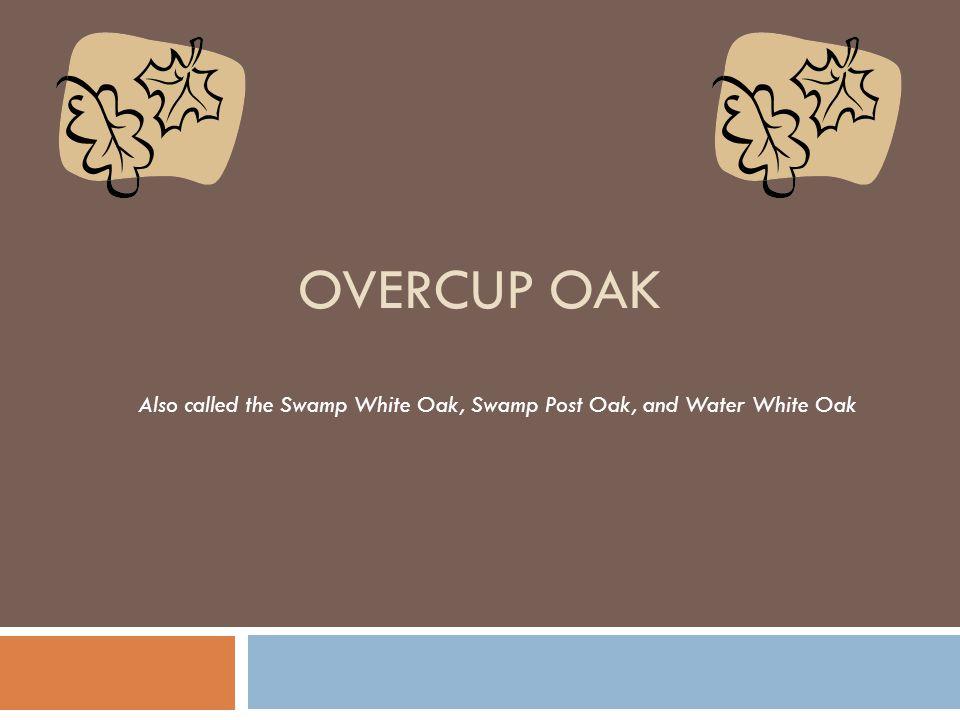 OVERCUP OAK Also called the Swamp White Oak, Swamp Post Oak, and Water White Oak