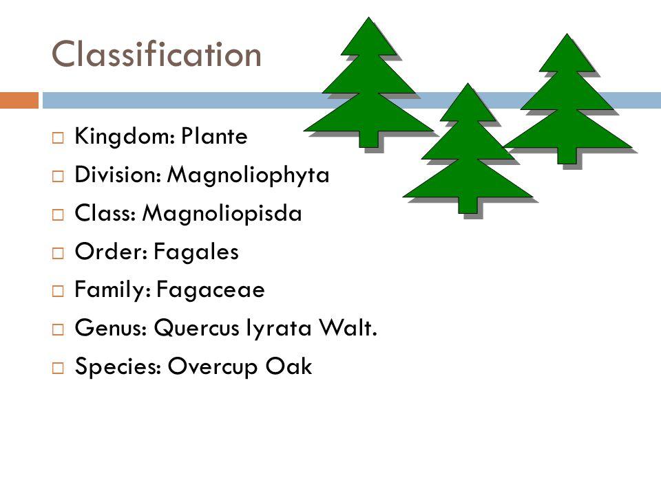Classification  Kingdom: Plante  Division: Magnoliophyta  Class: Magnoliopisda  Order: Fagales  Family: Fagaceae  Genus: Quercus lyrata Walt.