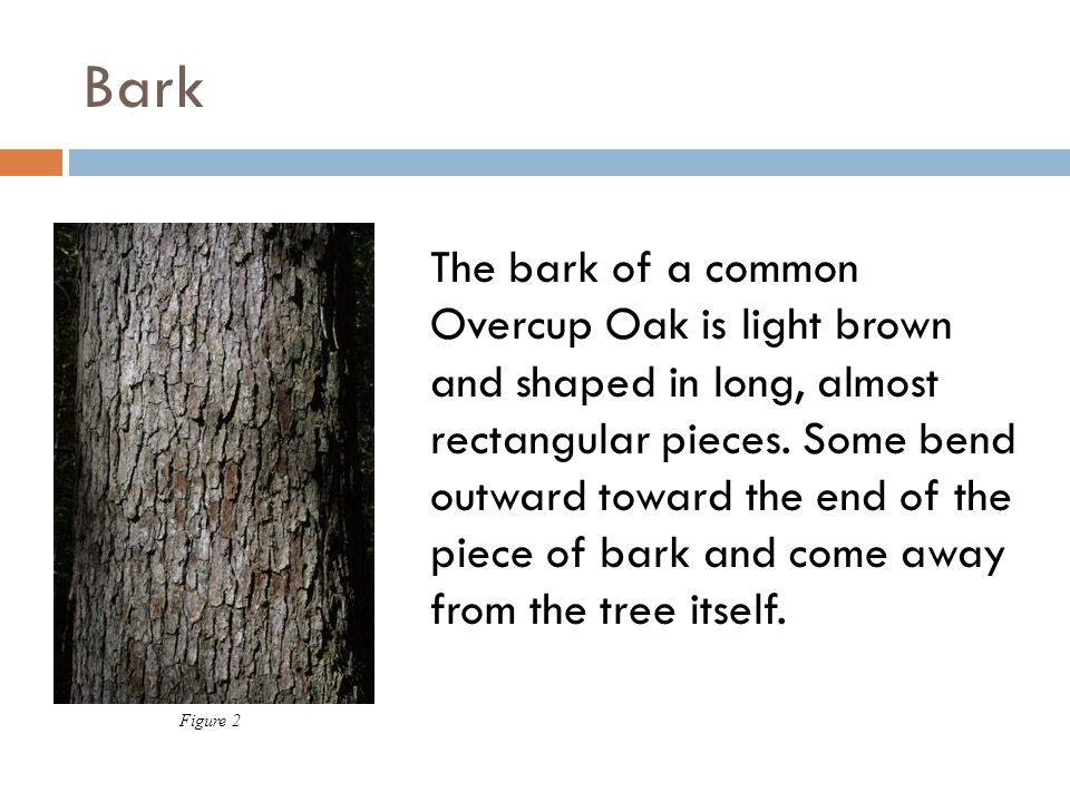 Bark The bark of a common Overcup Oak is light brown and shaped in long, almost rectangular pieces. Some bend outward toward the end of the piece of b