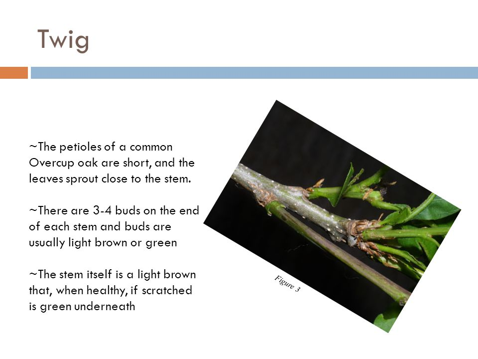 Twig ~The petioles of a common Overcup oak are short, and the leaves sprout close to the stem. ~There are 3-4 buds on the end of each stem and buds ar