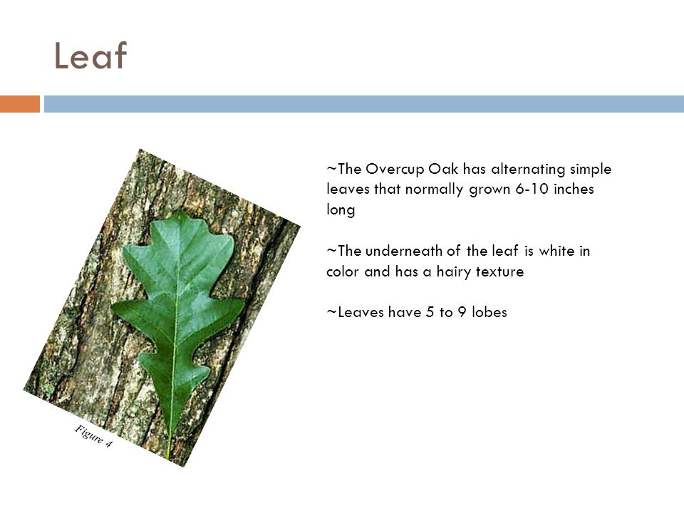 Leaf ~The Overcup Oak has alternating simple leaves that normally grown 6-10 inches long ~The underneath of the leaf is white in color and has a hairy texture ~Leaves have 5 to 9 lobes Figure 4