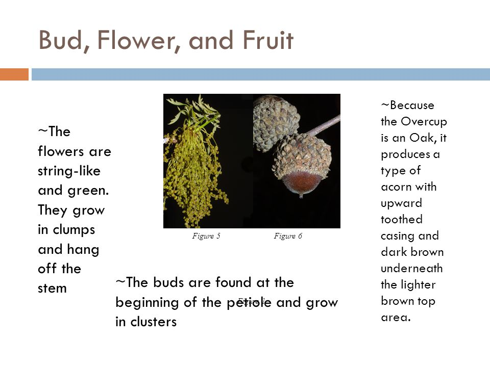 Bud, Flower, and Fruit ~The buds are found at the beginning of the petiole and grow in clusters ~The flowers are string-like and green. They grow in c