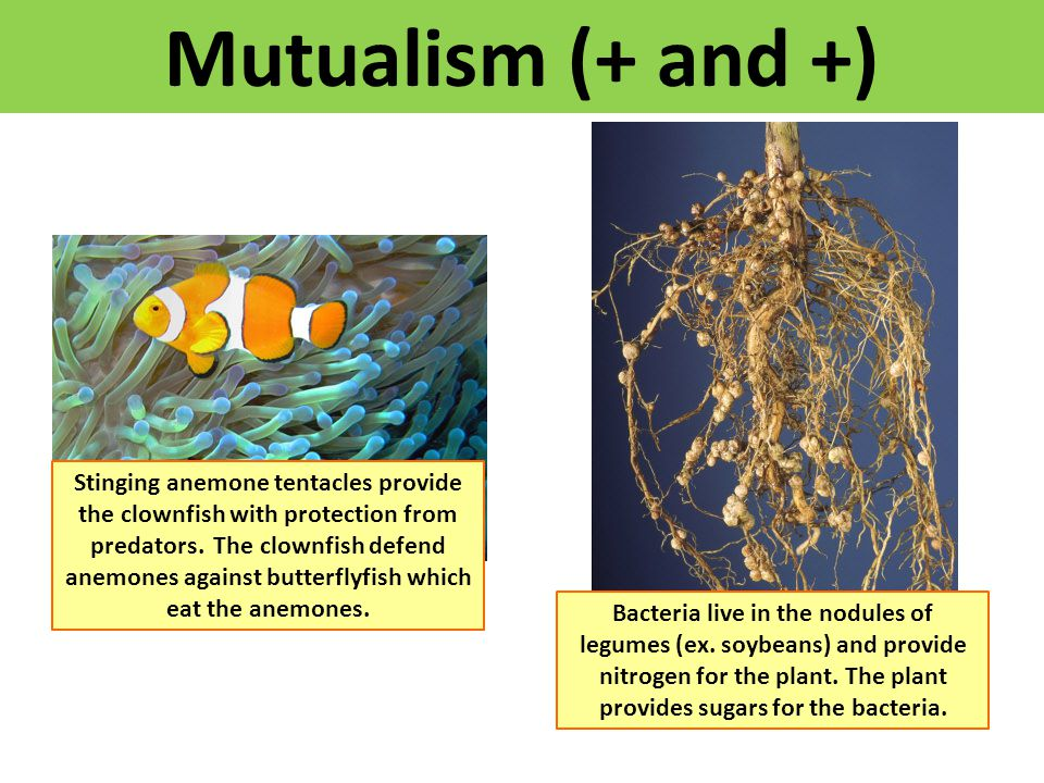 Mutualism (+ and +) Stinging anemone tentacles provide the clownfish with protection from predators. The clownfish defend anemones against butterflyfi