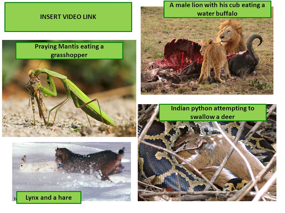Lynx and a hare Indian python attempting to swallow a deer A male lion with his cub eating a water buffalo Praying Mantis eating a grasshopper INSERT VIDEO LINK