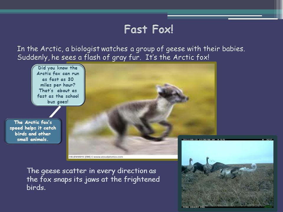 After the Arctic fox catches its prey, it digs a hole and buries what it doesn't eat right away.