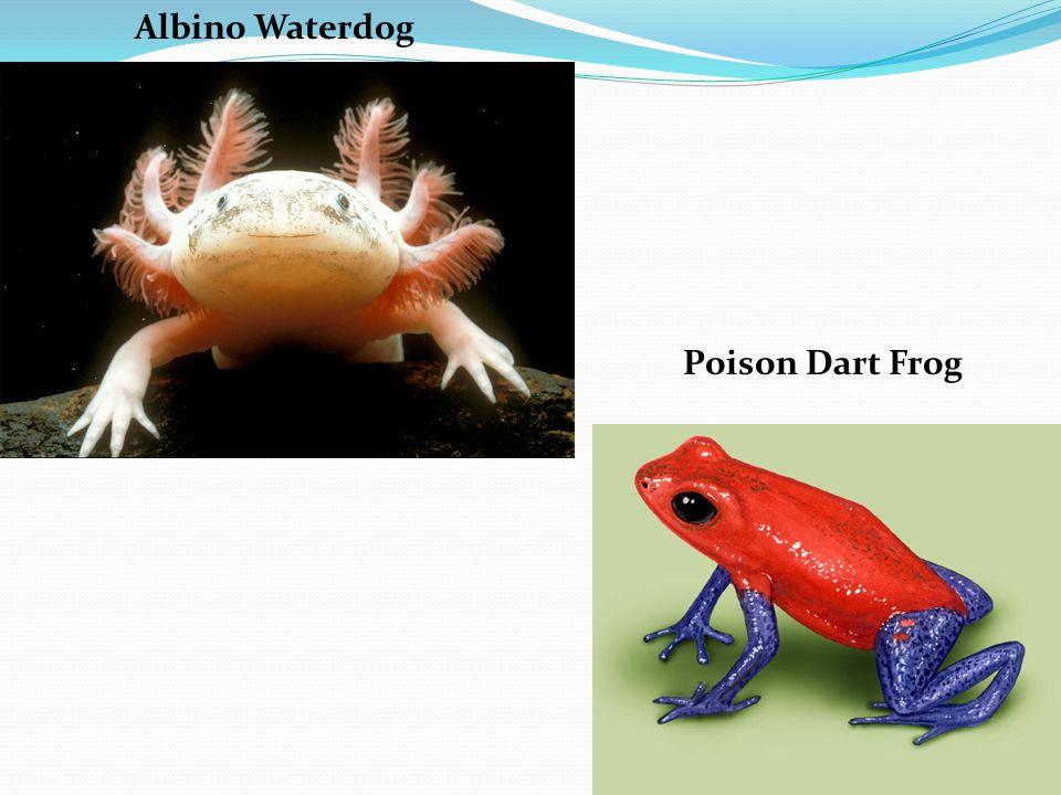 Albino Waterdog Poison Dart Frog