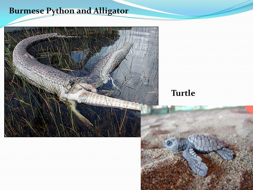 Burmese Python and Alligator Turtle