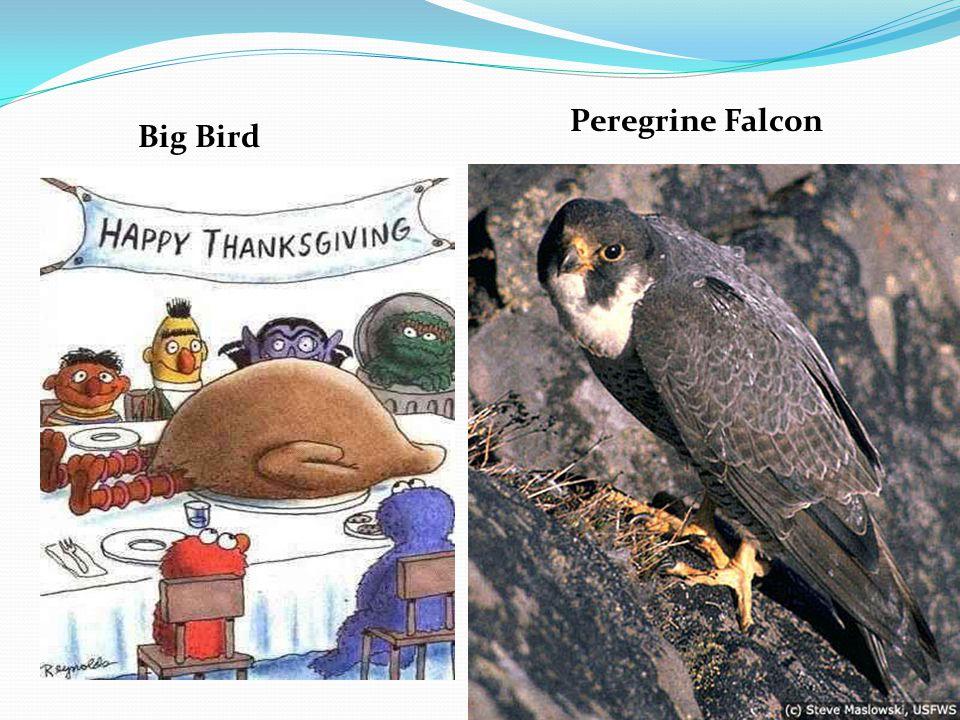 Big Bird Peregrine Falcon