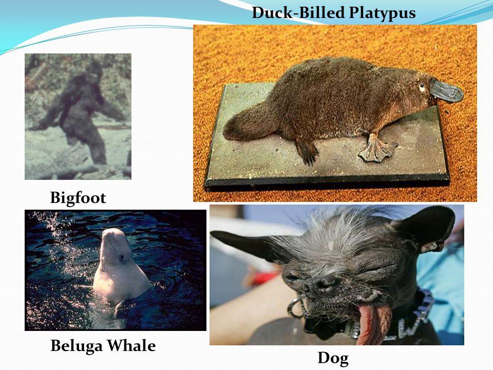 Beluga Whale Bigfoot Duck-Billed Platypus Dog