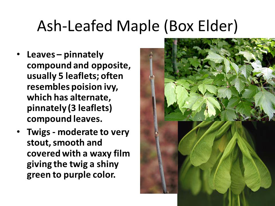 Ash-Leafed Maple (Box Elder) Leaves – pinnately compound and opposite, usually 5 leaflets; often resembles poision ivy, which has alternate, pinnately (3 leaflets) compound leaves.