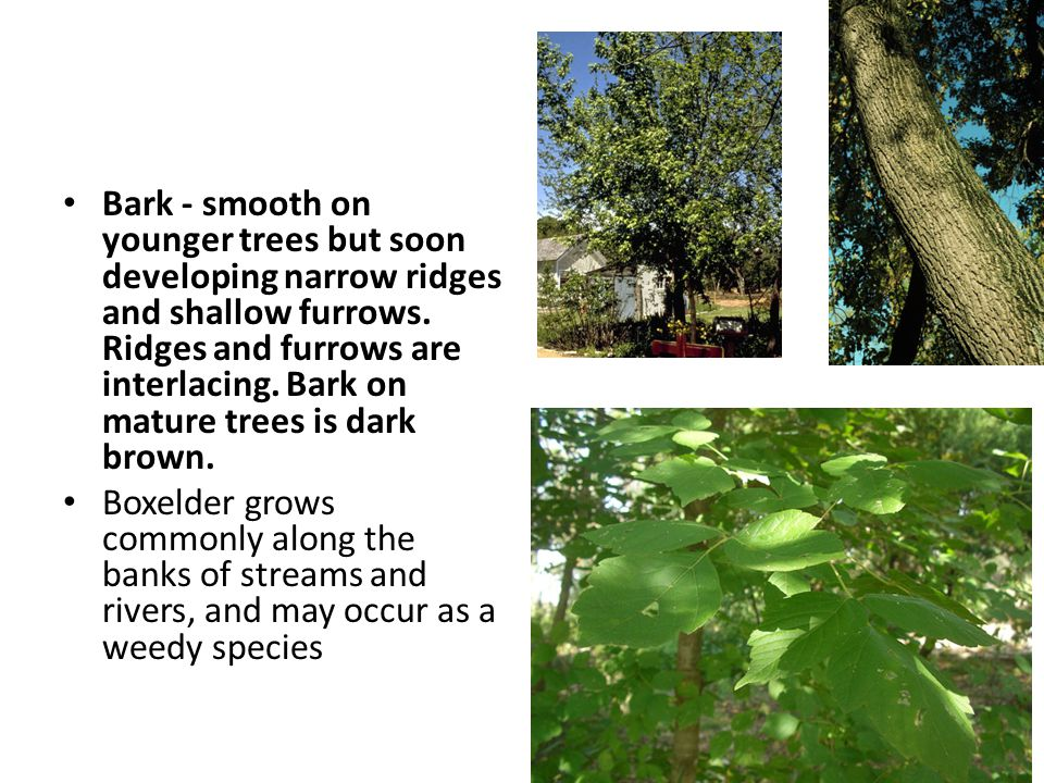 Bark - smooth on younger trees but soon developing narrow ridges and shallow furrows.
