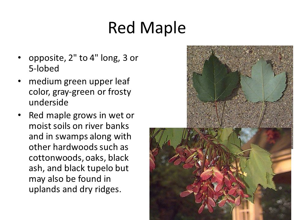 Red Maple opposite, 2 to 4 long, 3 or 5-lobed medium green upper leaf color, gray-green or frosty underside Red maple grows in wet or moist soils on river banks and in swamps along with other hardwoods such as cottonwoods, oaks, black ash, and black tupelo but may also be found in uplands and dry ridges.
