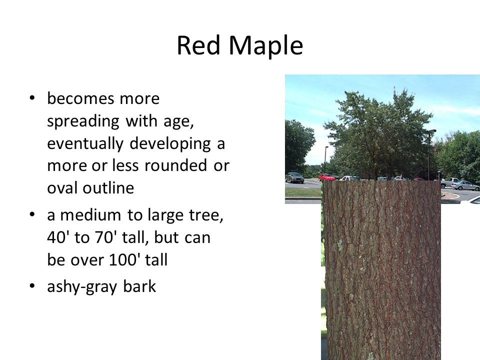 Red Maple becomes more spreading with age, eventually developing a more or less rounded or oval outline a medium to large tree, 40' to 70' tall, but c