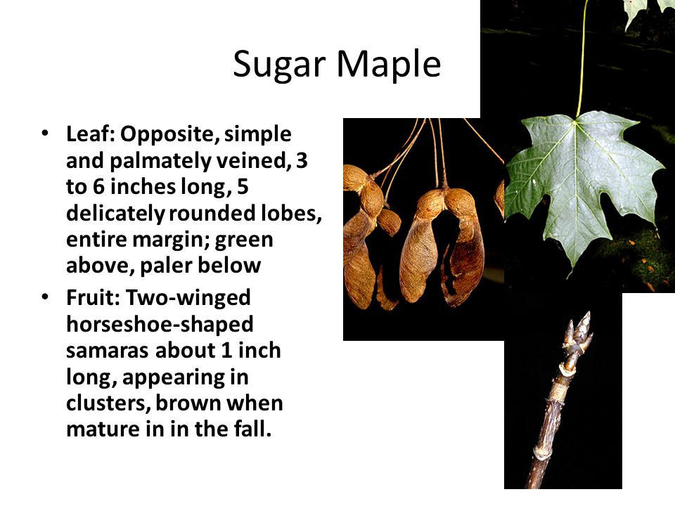 Sugar Maple Leaf: Opposite, simple and palmately veined, 3 to 6 inches long, 5 delicately rounded lobes, entire margin; green above, paler below Fruit