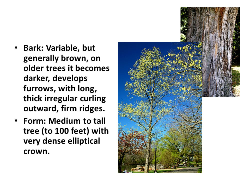 Bark: Variable, but generally brown, on older trees it becomes darker, develops furrows, with long, thick irregular curling outward, firm ridges.