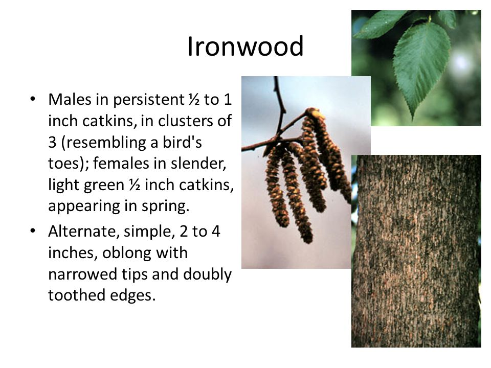 Ironwood Males in persistent ½ to 1 inch catkins, in clusters of 3 (resembling a bird s toes); females in slender, light green ½ inch catkins, appearing in spring.