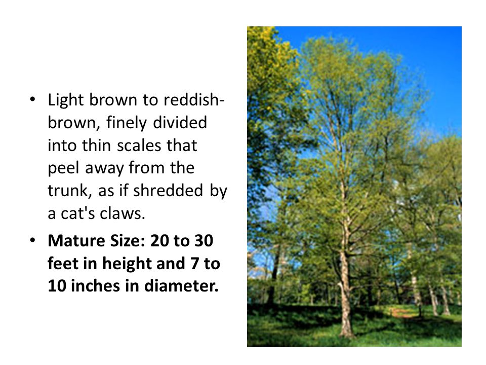 Light brown to reddish- brown, finely divided into thin scales that peel away from the trunk, as if shredded by a cat's claws. Mature Size: 20 to 30 f