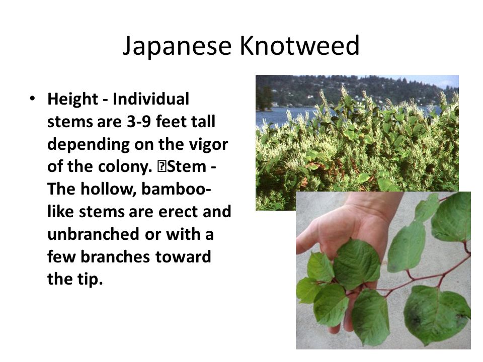 Japanese Knotweed Height - Individual stems are 3-9 feet tall depending on the vigor of the colony. Stem - The hollow, bamboo- like stems are erect an