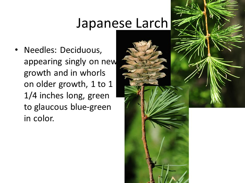 Japanese Larch Needles: Deciduous, appearing singly on new growth and in whorls on older growth, 1 to 1 1/4 inches long, green to glaucous blue-green