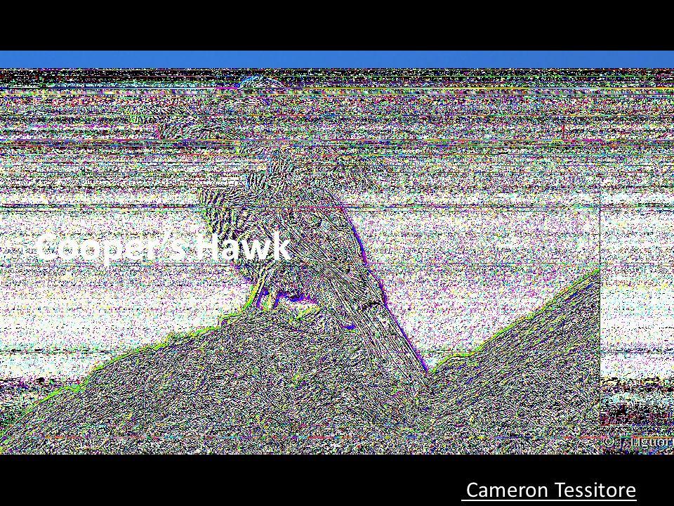 Cooper's Hawk Cameron Tessitore