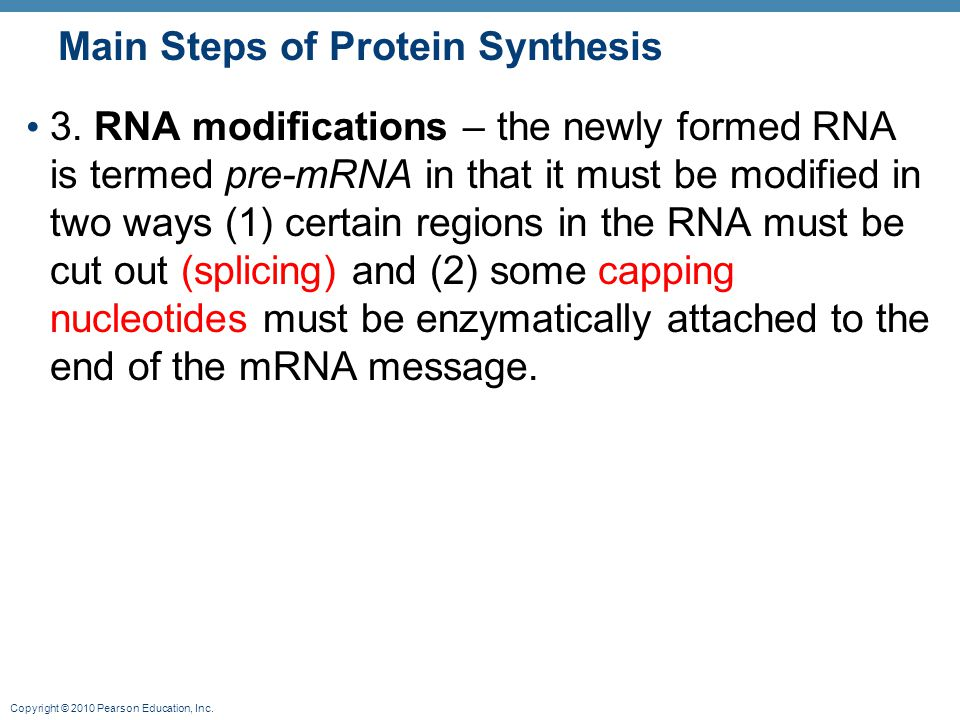 Copyright © 2010 Pearson Education, Inc. Main Steps of Protein Synthesis 3. RNA modifications – the newly formed RNA is termed pre-mRNA in that it mus
