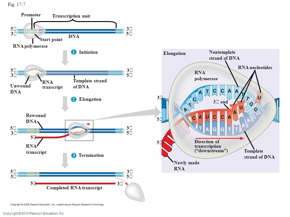 Copyright © 2010 Pearson Education, Inc. Fig. 17-7 Promoter Transcription unit Start point DNA RNA polymerase 5 53 3 Initiation 1 2 3 5 5 3 3 Unwound