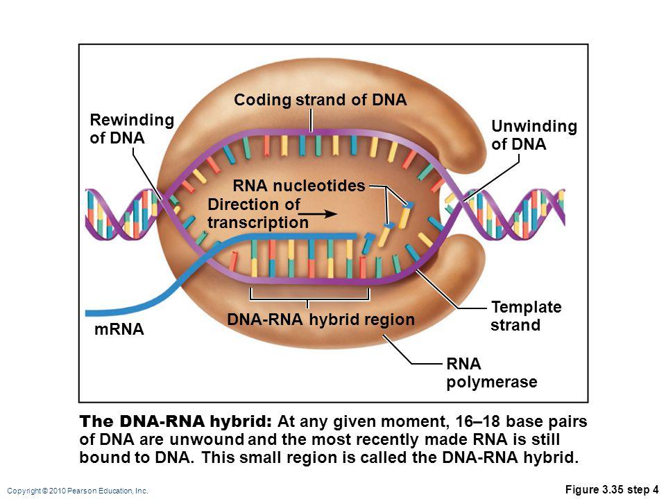 Copyright © 2010 Pearson Education, Inc. Figure 3.35 step 4 RNA polymerase mRNA Rewinding of DNA Coding strand of DNA DNA-RNA hybrid region The DNA-RN