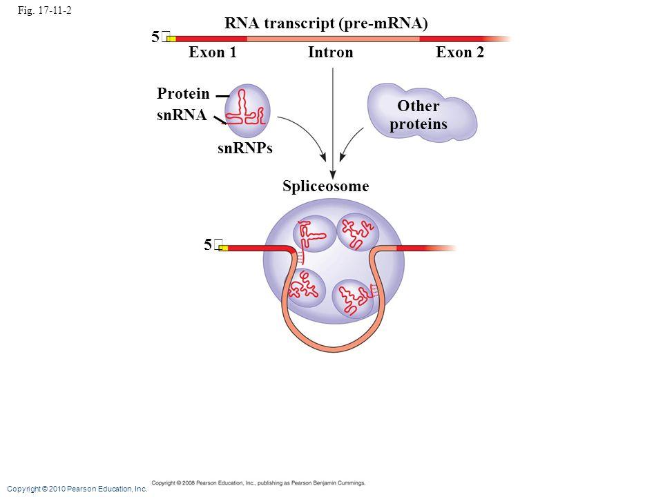 Copyright © 2010 Pearson Education, Inc. Fig. 17-11-2 RNA transcript (pre-mRNA) Exon 1Exon 2Intron Protein snRNA snRNPs Other proteins 5 5 Spliceosome
