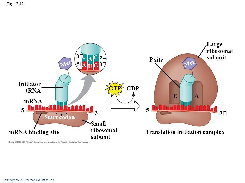 Copyright © 2010 Pearson Education, Inc. Fig. 17-17 3 3 5 5 U U A A C G Met GTP GDP Initiator tRNA mRNA 5 3 Start codon mRNA binding site Small riboso