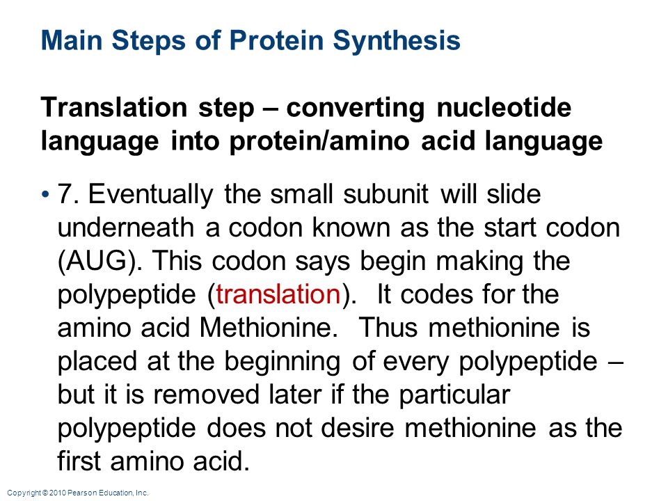 Copyright © 2010 Pearson Education, Inc. Main Steps of Protein Synthesis Translation step – converting nucleotide language into protein/amino acid lan