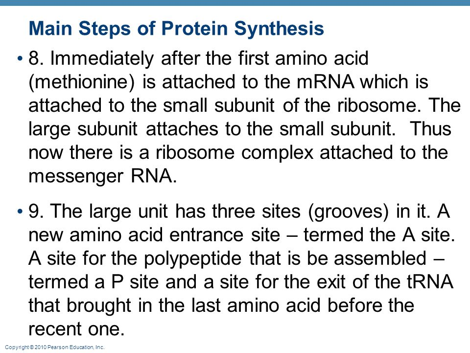Copyright © 2010 Pearson Education, Inc. Main Steps of Protein Synthesis 8. Immediately after the first amino acid (methionine) is attached to the mRN
