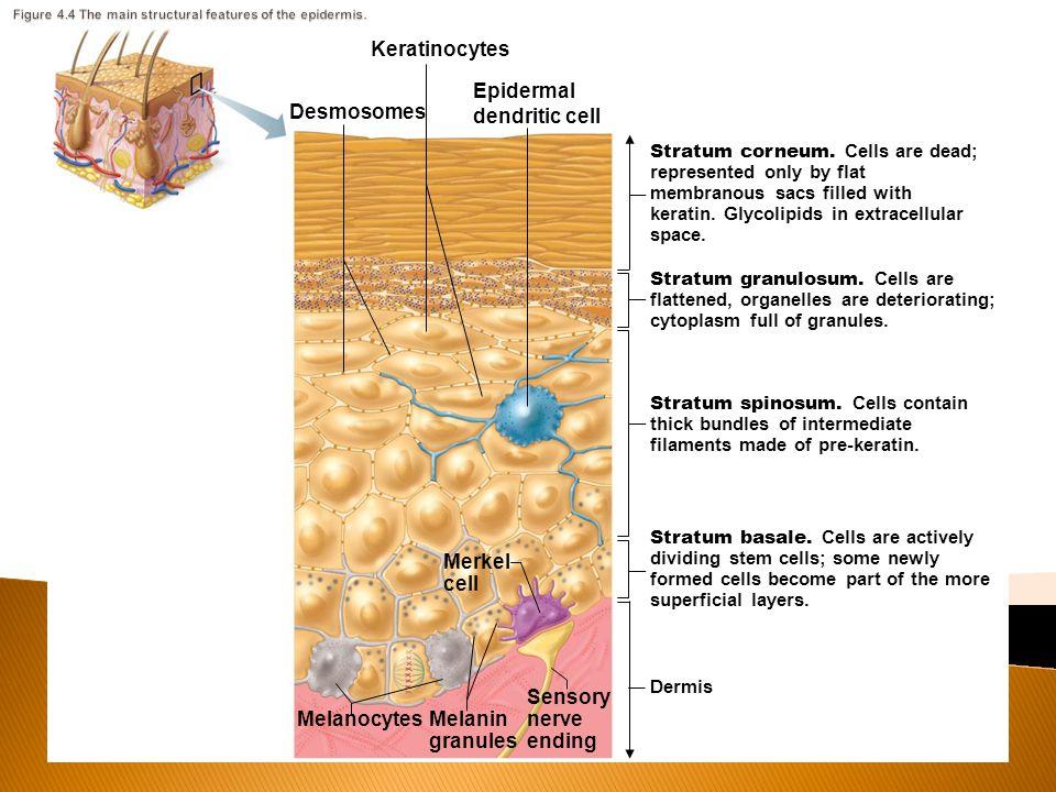 Desmosomes Stratum corneum.