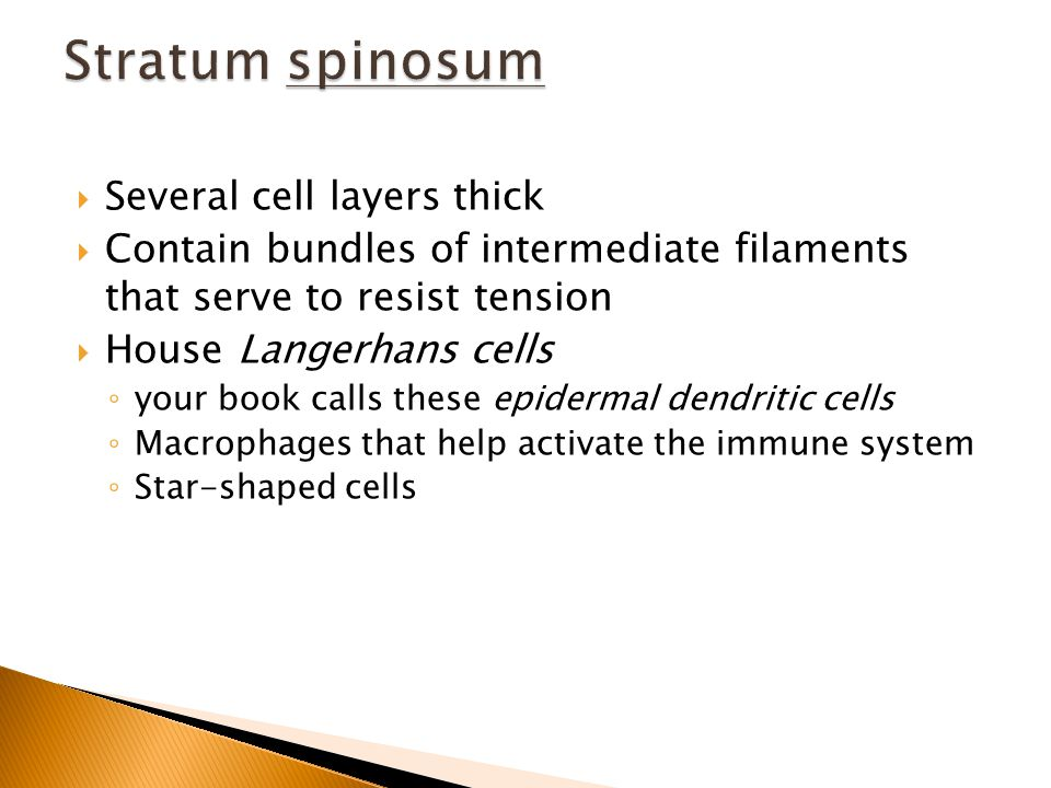  Several cell layers thick  Contain bundles of intermediate filaments that serve to resist tension  House Langerhans cells ◦ your book calls these epidermal dendritic cells ◦ Macrophages that help activate the immune system ◦ Star-shaped cells