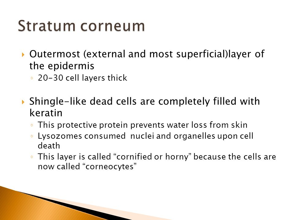  Outermost (external and most superficial)layer of the epidermis ◦ 20-30 cell layers thick  Shingle-like dead cells are completely filled with keratin ◦ This protective protein prevents water loss from skin ◦ Lysozomes consumed nuclei and organelles upon cell death ◦ This layer is called cornified or horny because the cells are now called corneocytes