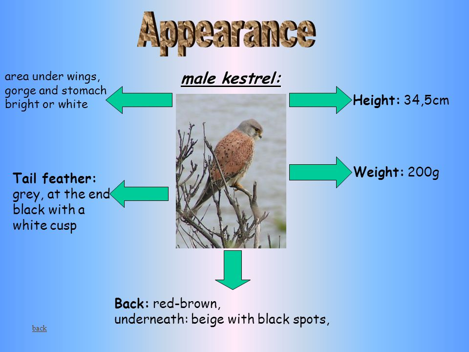 male kestrel: Height: 34,5cm Weight: 200g Back: red-brown, underneath: beige with black spots, Tail feather: grey, at the end black with a white cusp area under wings, gorge and stomach bright or white back