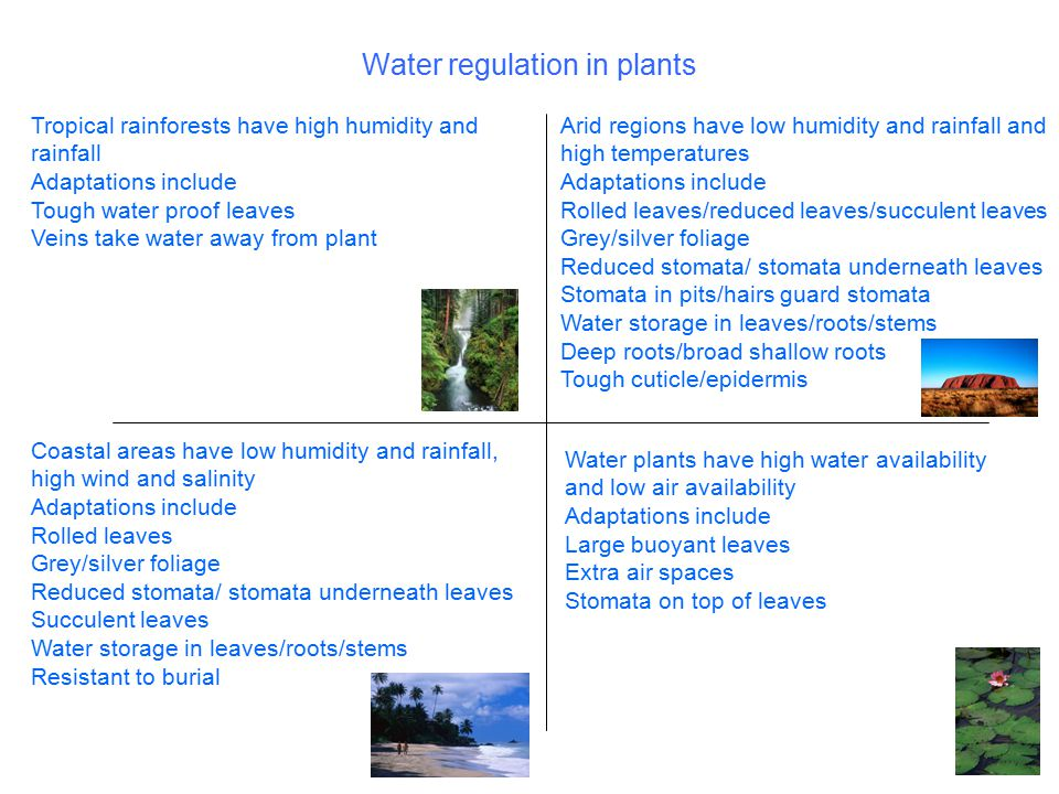 Water regulation in plants Tropical rainforests have high humidity and rainfall Adaptations include Tough water proof leaves Veins take water away fro