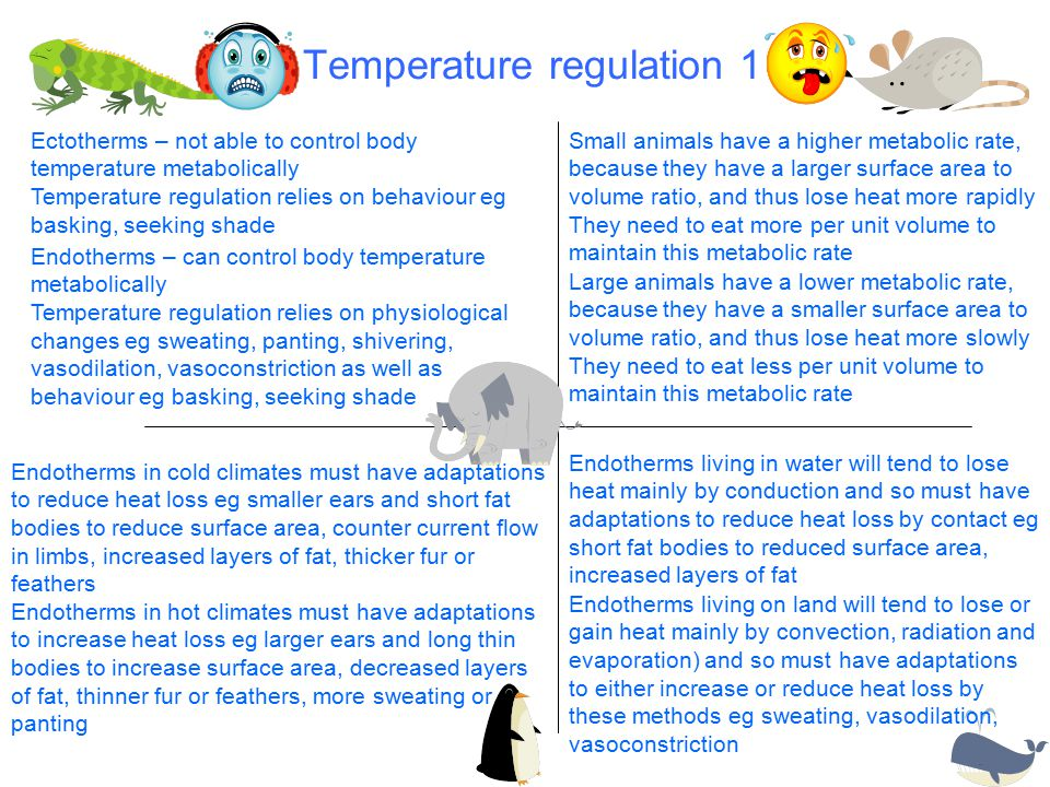 Temperature regulation 1 Ectotherms – not able to control body temperature metabolically Temperature regulation relies on behaviour eg basking, seeking shade Endotherms – can control body temperature metabolically Temperature regulation relies on physiological changes eg sweating, panting, shivering, vasodilation, vasoconstriction as well as behaviour eg basking, seeking shade Small animals have a higher metabolic rate, because they have a larger surface area to volume ratio, and thus lose heat more rapidly They need to eat more per unit volume to maintain this metabolic rate Large animals have a lower metabolic rate, because they have a smaller surface area to volume ratio, and thus lose heat more slowly They need to eat less per unit volume to maintain this metabolic rate Endotherms in cold climates must have adaptations to reduce heat loss eg smaller ears and short fat bodies to reduce surface area, counter current flow in limbs, increased layers of fat, thicker fur or feathers Endotherms in hot climates must have adaptations to increase heat loss eg larger ears and long thin bodies to increase surface area, decreased layers of fat, thinner fur or feathers, more sweating or panting Endotherms living in water will tend to lose heat mainly by conduction and so must have adaptations to reduce heat loss by contact eg short fat bodies to reduced surface area, increased layers of fat Endotherms living on land will tend to lose or gain heat mainly by convection, radiation and evaporation) and so must have adaptations to either increase or reduce heat loss by these methods eg sweating, vasodilation, vasoconstriction