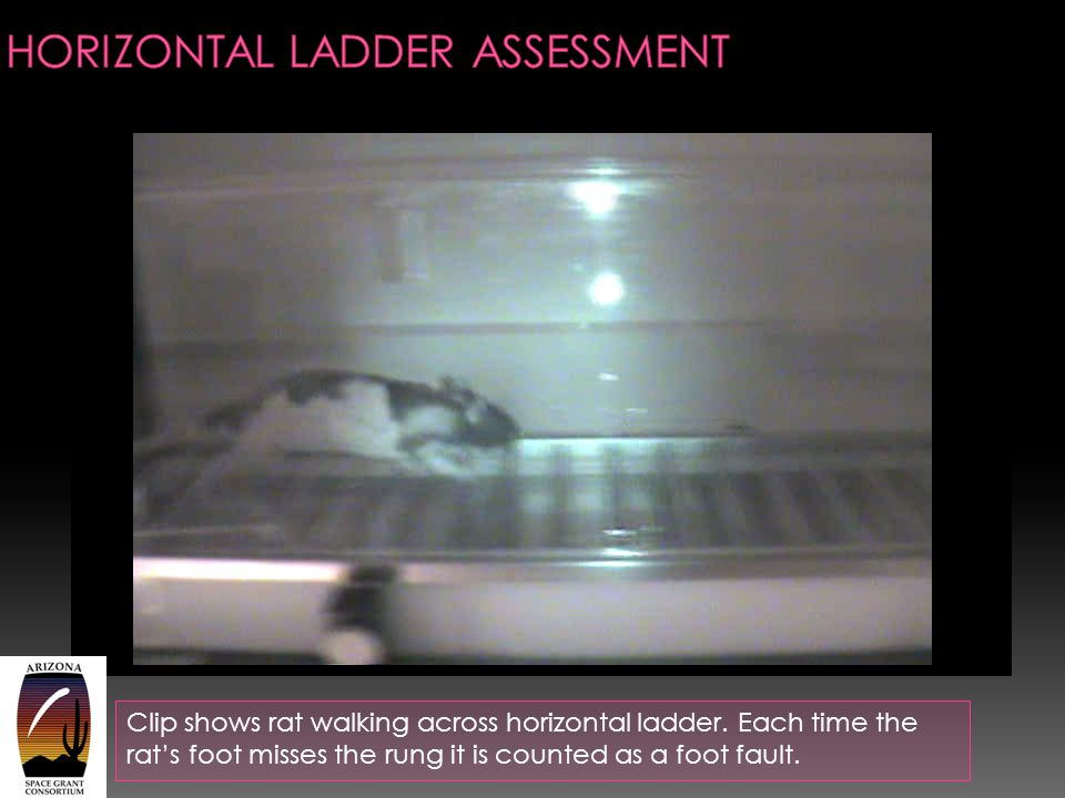 Clip shows rat walking across horizontal ladder. Each time the rat's foot misses the rung it is counted as a foot fault.