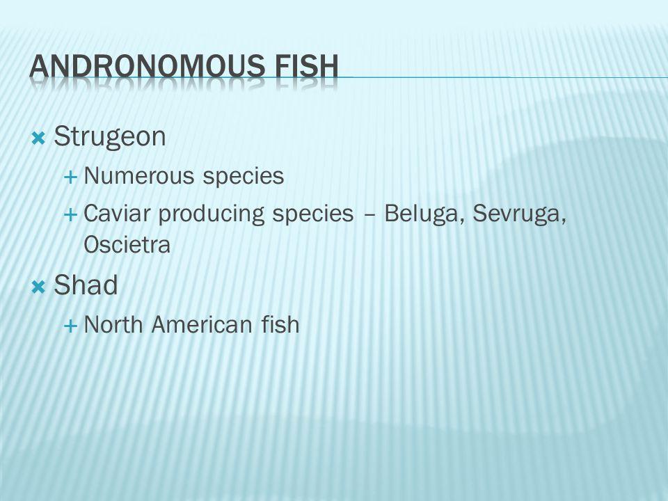  Strugeon  Numerous species  Caviar producing species – Beluga, Sevruga, Oscietra  Shad  North American fish