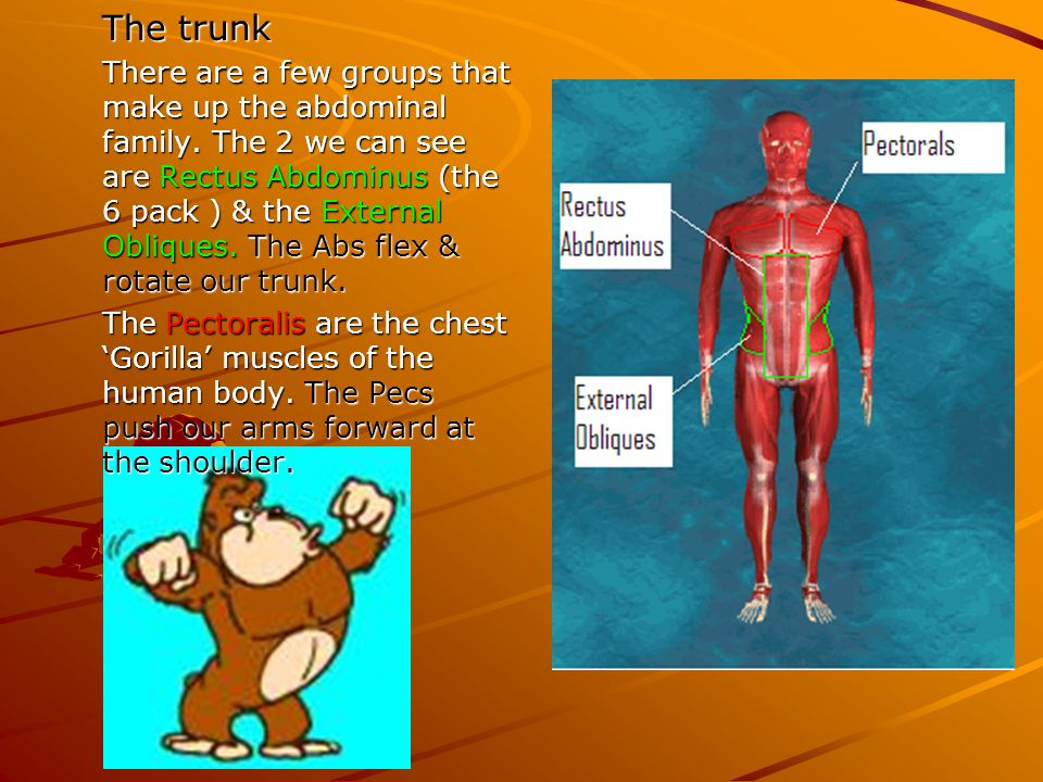 The trunk There are a few groups that make up the abdominal family. The 2 we can see are Rectus Abdominus (the 6 pack ) & the External Obliques. The A