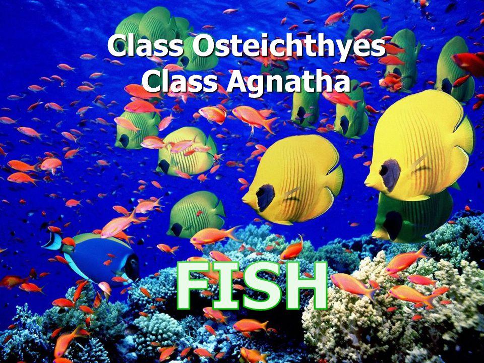 Class Osteichthyes Class Agnatha
