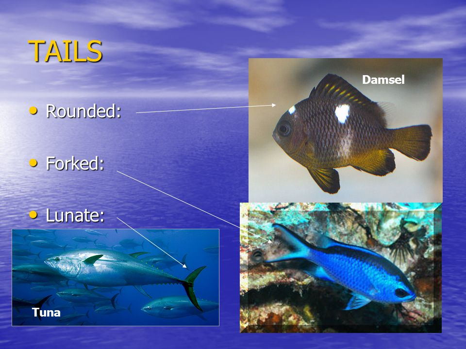 TAILS Rounded: Rounded: Forked: Forked: Lunate: Lunate: Damsel Tuna