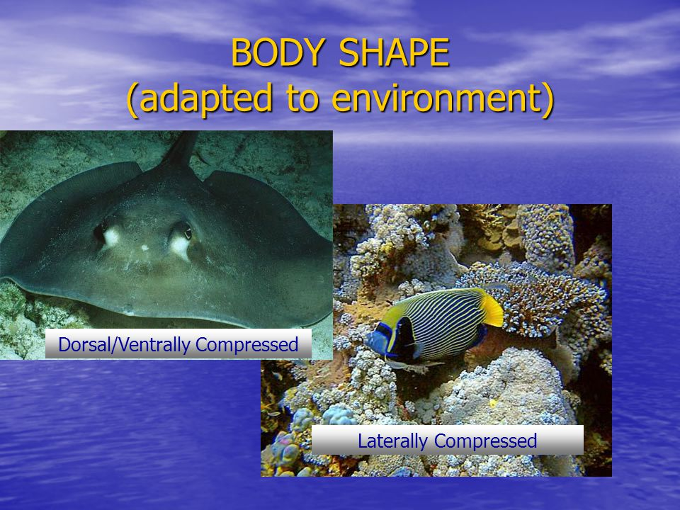 BODY SHAPE (adapted to environment) Laterally Compressed Dorsal/Ventrally Compressed