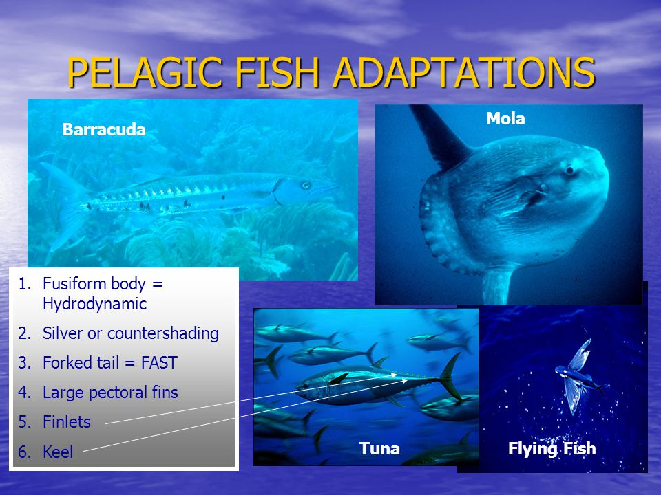 PELAGIC FISH ADAPTATIONS 1.Fusiform body = Hydrodynamic 2.Silver or countershading 3.Forked tail = FAST 4.Large pectoral fins 5.Finlets 6.Keel Mola Flying FishTuna Barracuda