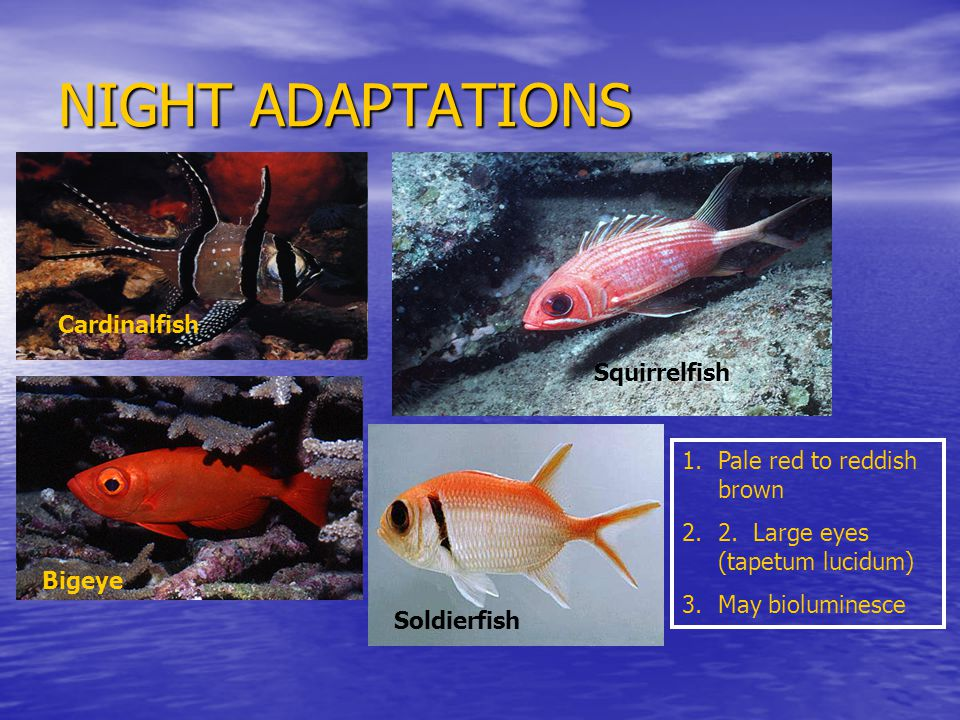 NIGHT ADAPTATIONS 1.Pale red to reddish brown 2.2.