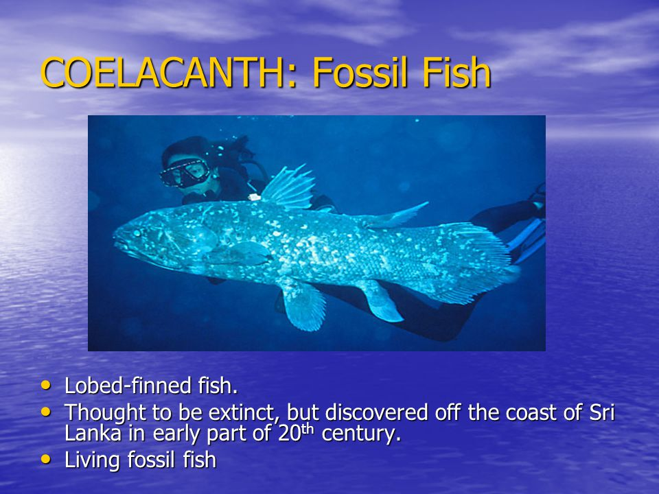 COELACANTH: Fossil Fish Lobed-finned fish. Lobed-finned fish.
