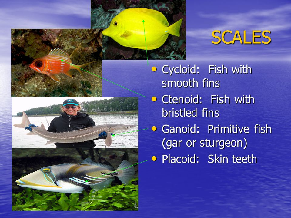 SCALES Cycloid: Fish with smooth fins Cycloid: Fish with smooth fins Ctenoid: Fish with bristled fins Ctenoid: Fish with bristled fins Ganoid: Primitive fish (gar or sturgeon) Ganoid: Primitive fish (gar or sturgeon) Placoid: Skin teeth Placoid: Skin teeth