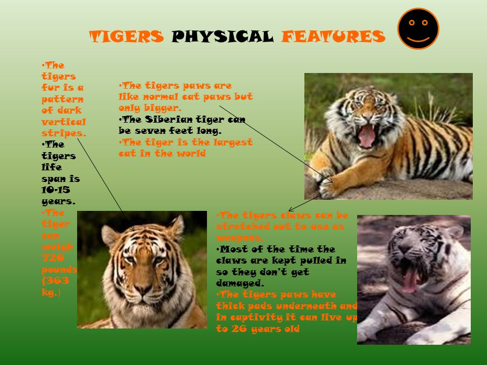 TIGERS PHYSICAL FEATURES The tigers fur is a pattern of dark vertical stripes. The tigers life span is 10-15 years. The tiger can weigh 720 pounds (36