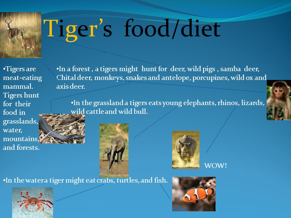 Tigers Endangered Status Tigers are mostly endangered because poachers – people who hunt illegally.